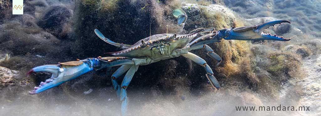 Salvemos al cangrejo azul en Veracruz